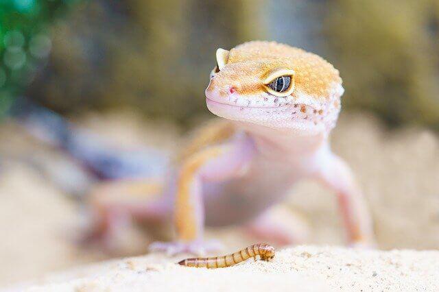 Lizard Philippinen