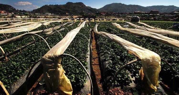 La Trinidad Strawberry Farm - Baguio