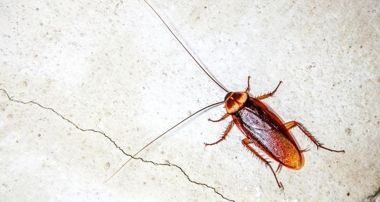 Cockroaches auf den Pilippinen
